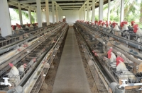 arab chickens in battery cages