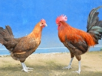ayam arab golden